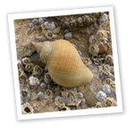 Dog Whelk