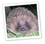 Hedgehog (c) Catherine Chalkley