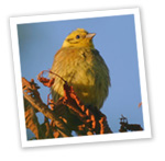 Yellowhammer (c) John Adam